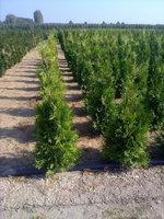 bomenweb - Haagplanten online kopen